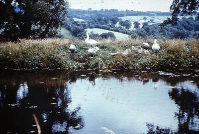 P01056; Swans on the Union Canal, Muiravonside