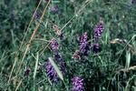 Tufted vetch, Upper Kinneil