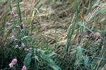 Redshank in barleyfield