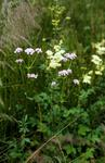 Valerian and meadow sweet