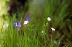 Bluebells and white campion