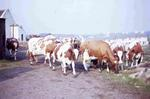 Cows in yard on Tamfourhill Farm