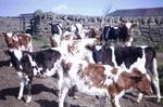 Calves on Tamfourhill Farm