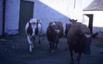 Dairy cows at Tamfourhill Farm