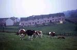 Dairy herd on Tamfourhill Farm