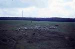 Sheep on Tamfourhill Farm
