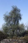 Silver birch on South Bantaskine Estate