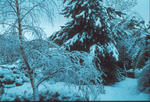 Silver Birch in snow, Grangemouth