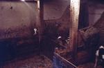 Cattle in byre at Boagstown Farm, Avonbridge
