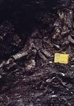 Fossil tree at Foggermountain open cast coal mine