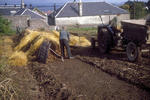Men Building potato stack insulated by hay