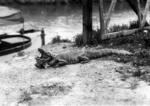 Alligator [in USA]