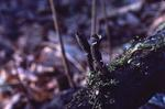 Dead man's fingers mushroom