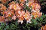 Orange azaleas in Dollar Park
