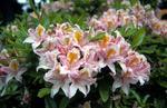 Pink azaleas in Dollar Park