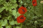 Poppies in Dollar Park