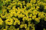 Yellow flowering shrub in Dollar Park.