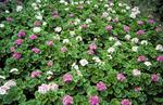 Bed of mixed colour geraniums in Dollar Park.