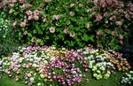 Bed of mixed colour flowers and pink flowering shrub in Dollar Park.
