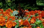 Bed of red begonias in Dollar Park.