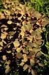 Variegated shrub in Dollar Park